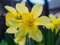 黄色开花的黄水仙,在被弄脏的背景的水仙 春天花拍摄与一个软的焦点,宏指令,关闭 免版税库存图片