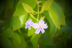 紫色开花的aravane 免版税库存图片