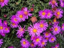 紫色开花翠菊,布什在俄国庭院里耕种的家庭花晚夏 免版税库存图片