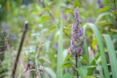 紫色开花茂盛 图库摄影