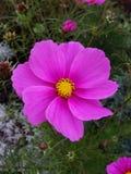 紫色开花银莲花属杂种,布什在俄国庭院里耕种的家庭花晚夏 免版税库存照片