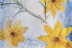 黄色开花冻在冰 免版税库存照片