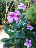 紫色开花 库存照片