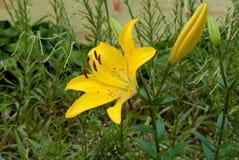 黄色异乎寻常的Lilly 库存照片