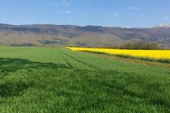 黄色强奸在山朱拉背景在春天开花在法国 库存照片