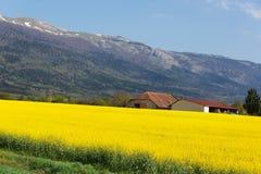黄色强奸在背景在春天开花 库存照片