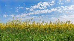 黄色强奸在背景在春天开花 免版税库存图片