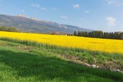 黄色强奸在背景在春天开花 库存图片