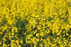 黄色强奸在背景在春天开花 免版税库存照片