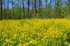 黄色强奸开花。 库存照片