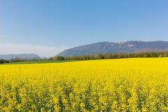 黄色强奸的领域在山朱拉背景在春天开花在法国 免版税库存图片