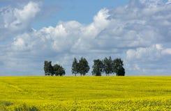 黄色强奸的领域开花,在天际的树,天空 免版税图库摄影