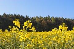 黄色强奸领域,在森林和蓝天前面 库存图片