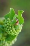绿色彗星乳草和一个红色臭虫 免版税库存图片