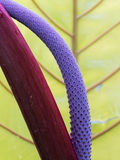 紫色彩斑芋开花 库存图片