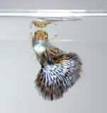 色彩艳丽的胎生小鱼宠物鱼游泳 库存图片