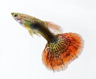 色彩艳丽的胎生小鱼宠物鱼游泳 图库摄影