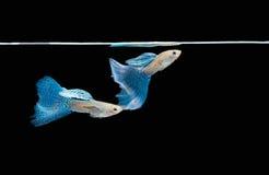 色彩艳丽的胎生小鱼游泳 免版税库存图片