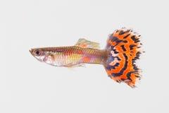 色彩艳丽的胎生小鱼男性1 免版税库存照片