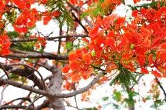 色彩艳丽的胎生小鱼花树 库存照片