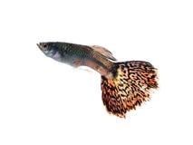 色彩艳丽的胎生小鱼鱼 库存照片