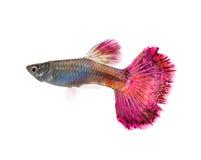 色彩艳丽的胎生小鱼鱼 库存图片