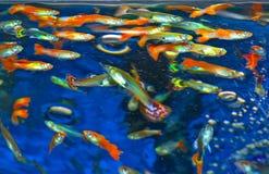 色彩艳丽的胎生小鱼 库存图片