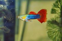 色彩艳丽的胎生小鱼 免版税库存照片