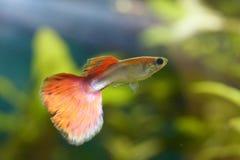 色彩艳丽的胎生小鱼(Poecilia reticulata) 免版税库存图片