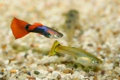 色彩艳丽的胎生小鱼(Poecilia reticulata) 图库摄影