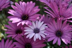 色彩雏菊反常现象 库存照片