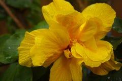 黄色微型木槿列伊花 免版税库存图片