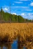 黄色成熟香蒲芦苇的领域在一片加拿大沼泽地 免版税库存照片
