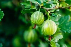 绿色成熟鹅莓在果子庭院里 免版税图库摄影