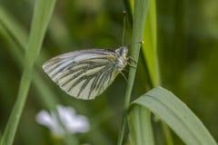 绿色成脉络的白色(皮利斯napae) 图库摄影