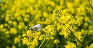 绿色成脉络的白色蝴蝶收集在强奸的花蜜 库存图片
