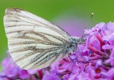 绿色成脉络的白色蝴蝶 免版税库存照片