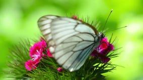 黑色成脉络的白色蝴蝶 股票录像