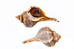 紫色或多刺的染料骨螺等, bolinus Brandaris 免版税库存照片