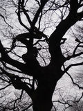 黑色扭转的山毛榉树灰色冬天天空 免版税库存照片