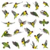 黄色抓住衣领口的爱情鸟飞行的汇集 免版税库存照片