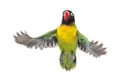黄色抓住衣领口的爱情鸟飞行,被隔绝 免版税库存图片
