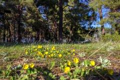 黄色报春花在一个杉木森林里在春天 库存照片