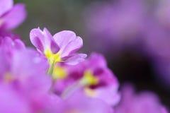 紫色报春花 免版税库存照片