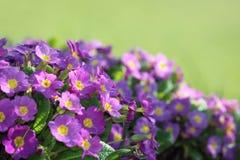 紫色报春花 图库摄影