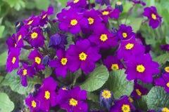 紫色报春花 库存图片