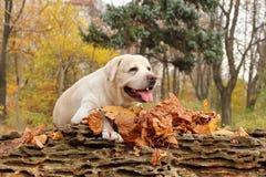 黄色拉布拉多在公园在秋天 免版税库存图片