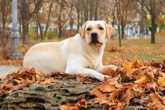 黄色拉布拉多在公园在秋天 免版税库存照片