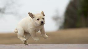 黄色拉布拉多小狗使用 免版税库存照片