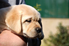 黄色拉布拉多小狗在人的手上 免版税库存照片